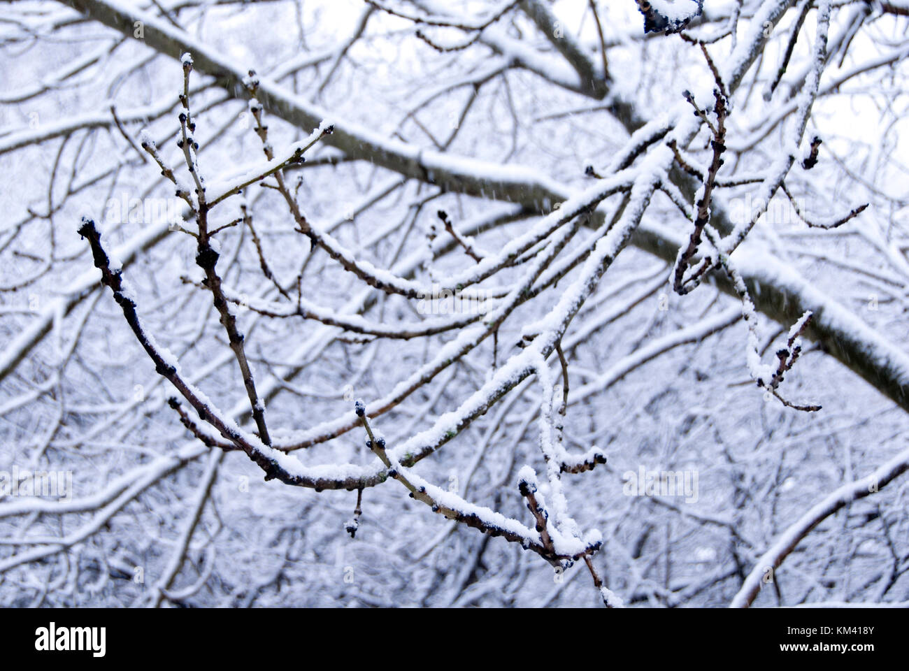 Ash tree branch dusted with snow as a blizzard falls in Sheffield, UK - Stock Image