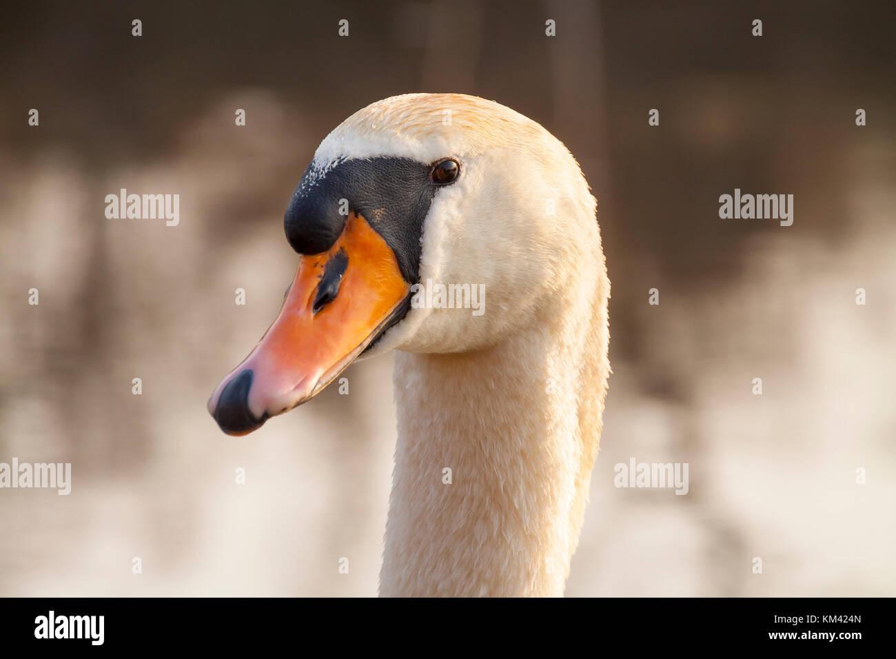 Swan portrait - Stock Image