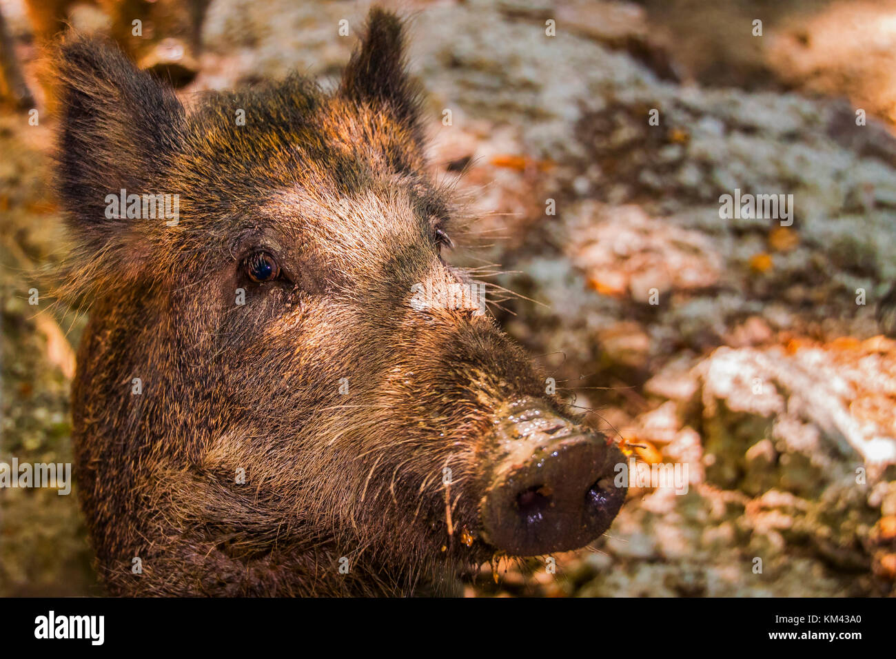 Wildlife pig - Stock Image