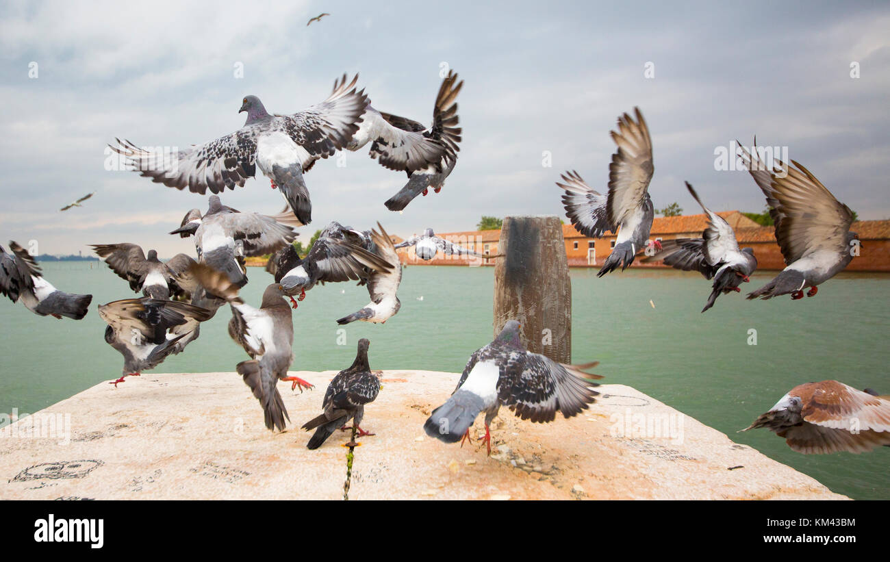 Flock of birds or doves - Stock Image