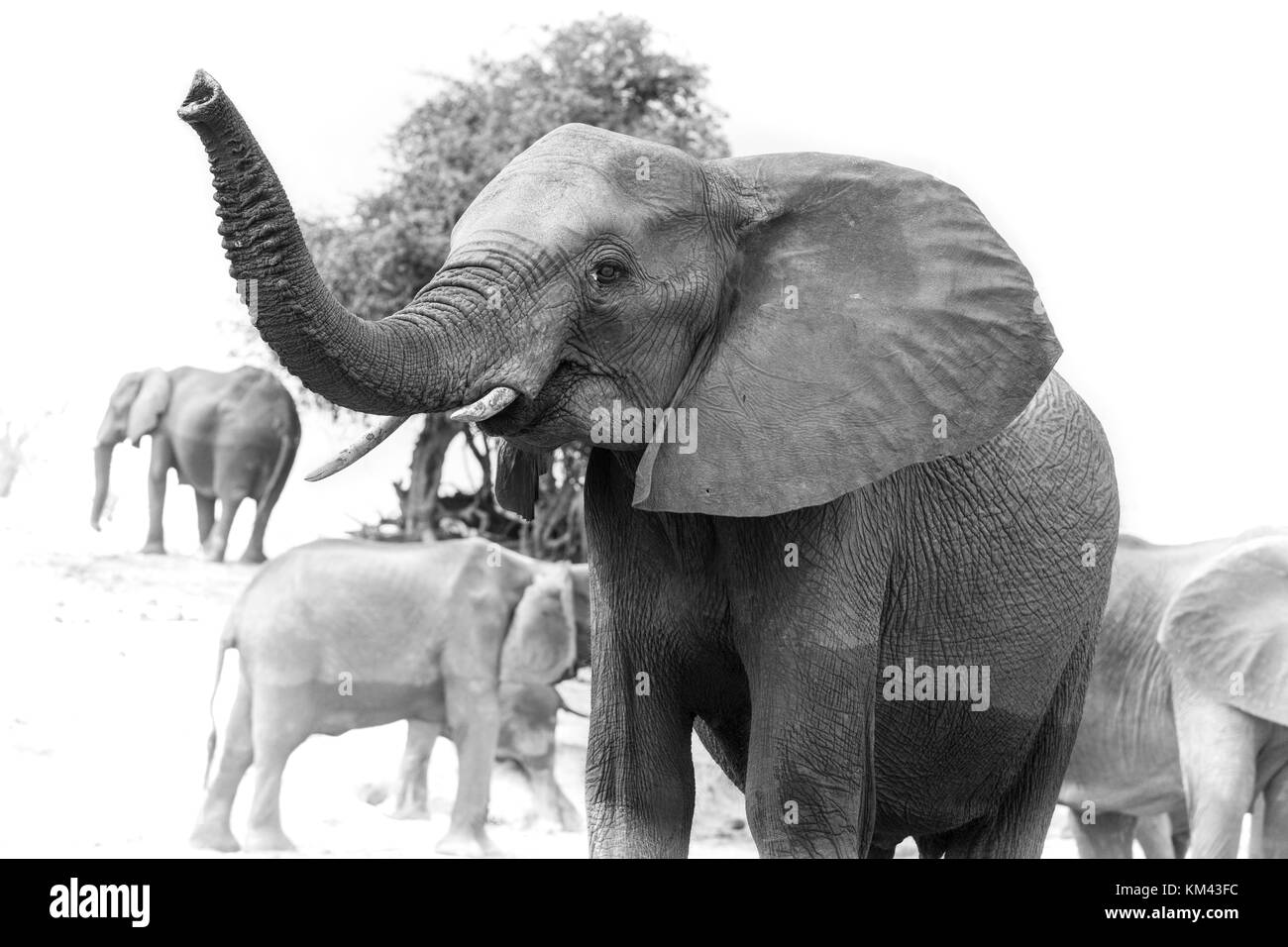 black and white portrait of an African Chobe elephant with raised trunk - Stock Image