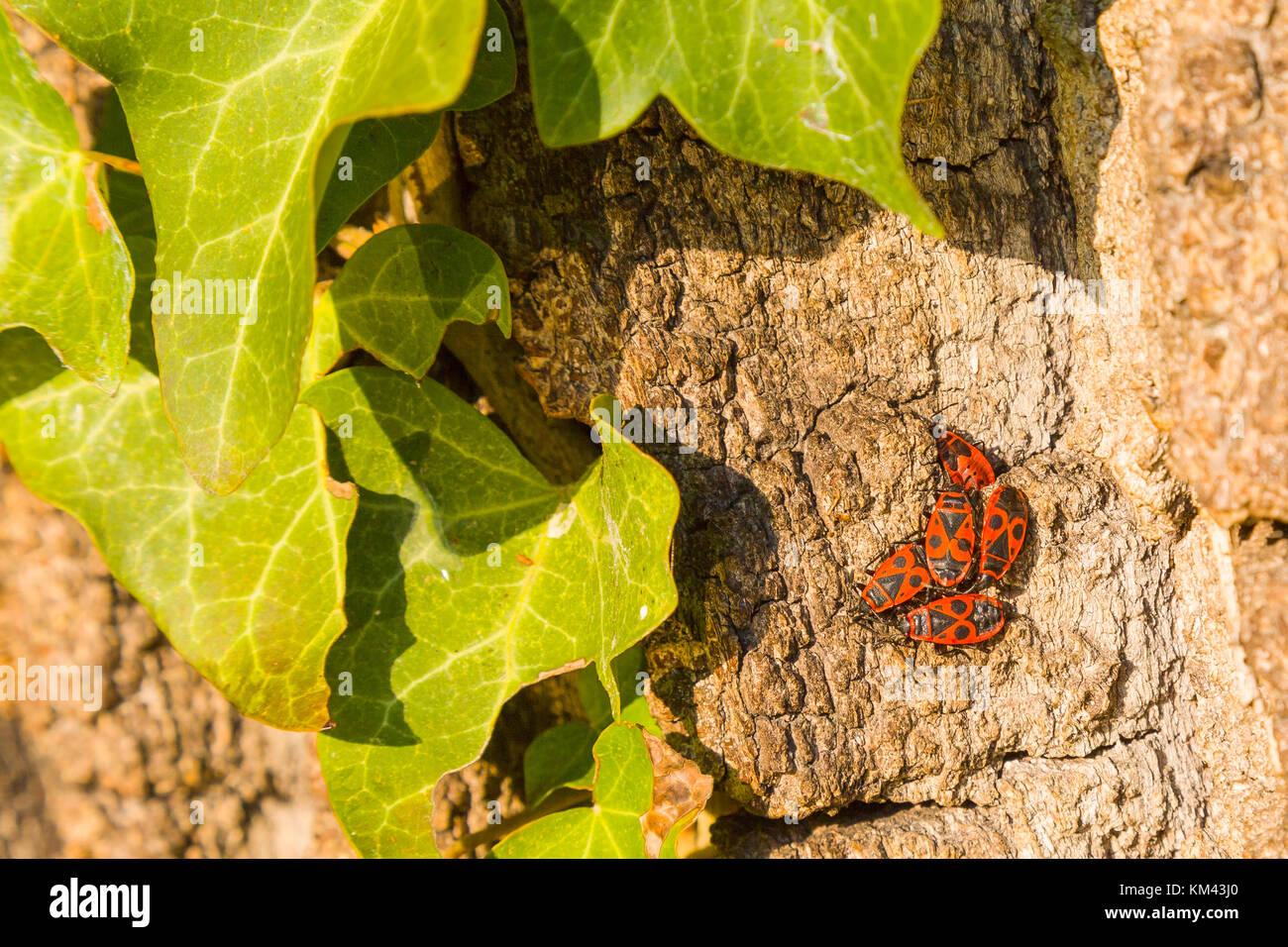 Bug nest with burying beetle - Stock Image