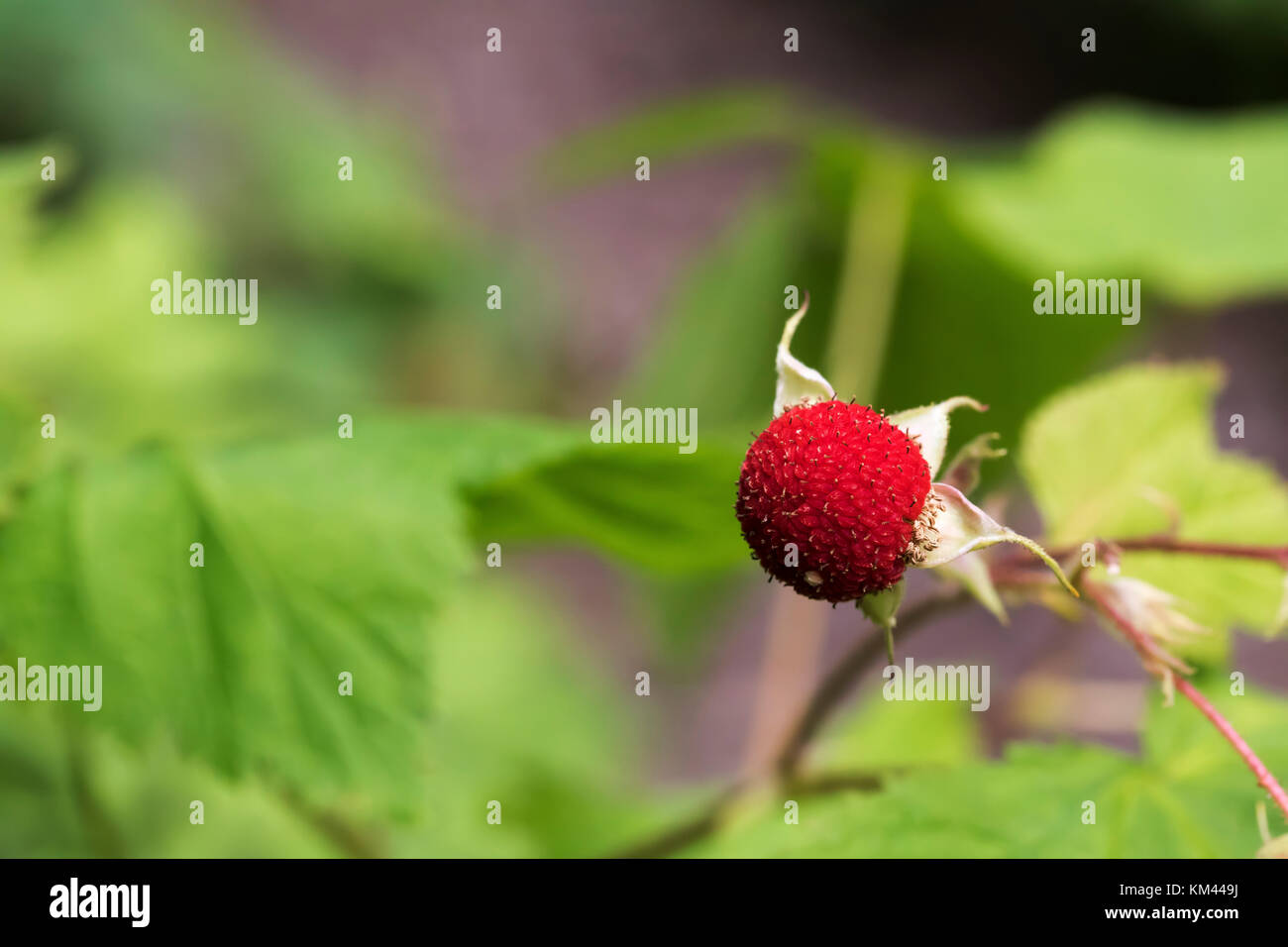 Thimbleberry (Rubus parviflorus), Flowering Raspberry in boreal forest, Isle Royal National Park - Stock Image