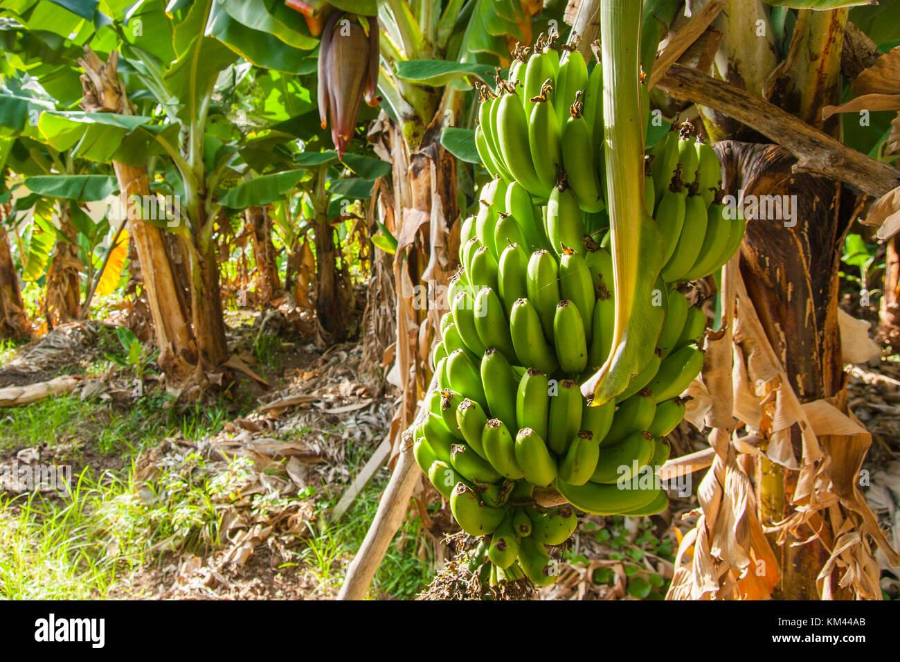 Banana plantation - Stock Image