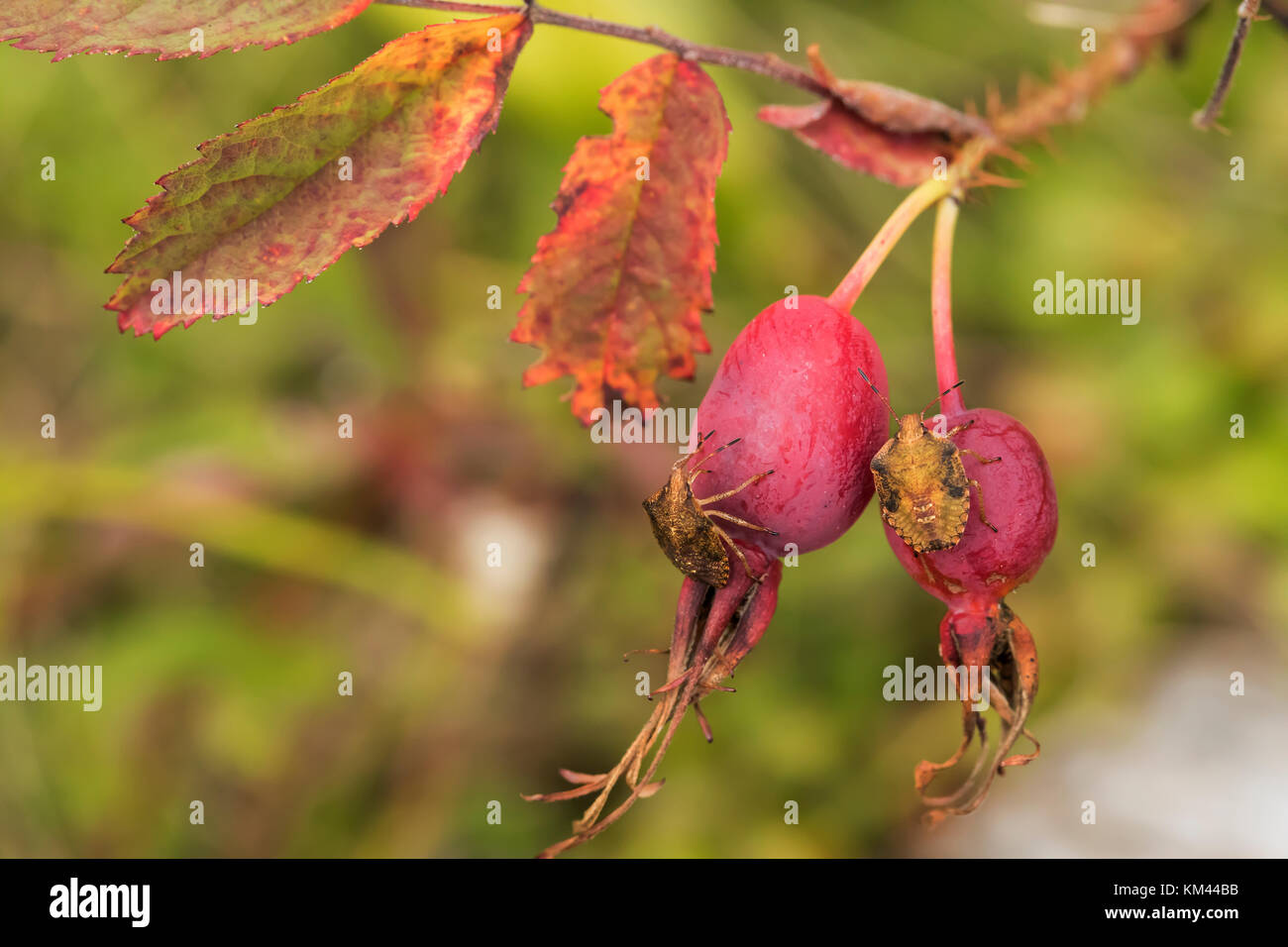 Rose hips with Brown Marmorated Stink Bugs (Halyomorpha halys) in Isle Royal National Park Stock Photo