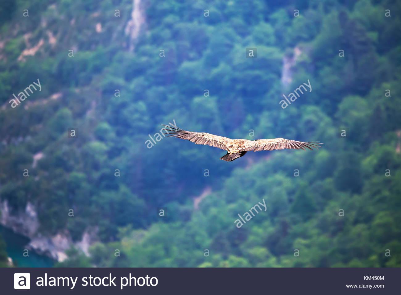 Griffon vulture (Gyps fulvus) gliding over the Verdon Gorges, Alpes de Haute Provence, Haute Provence, - Stock Image