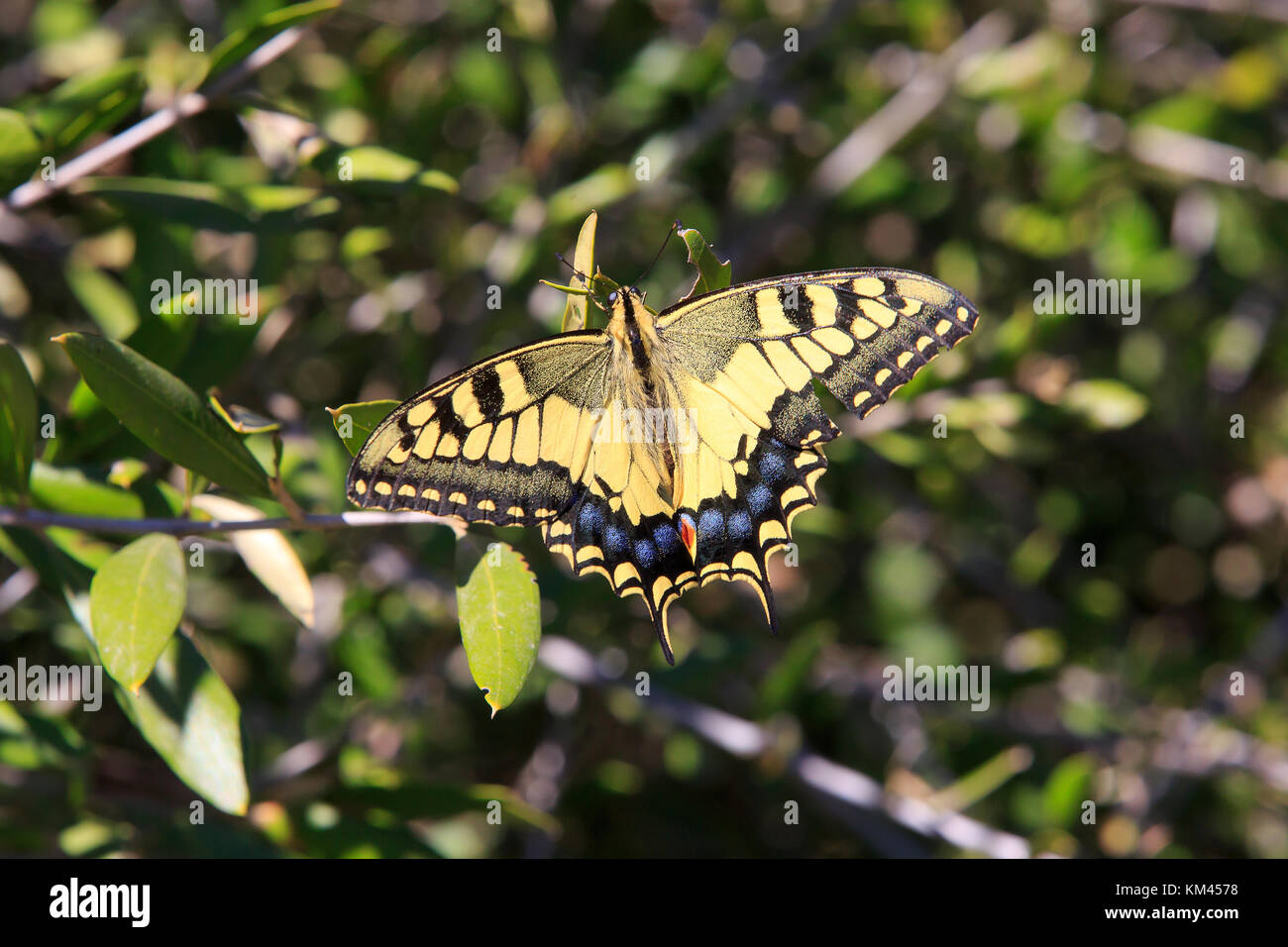 The western tiger swallowtail butterfly at the Upper rock Nature Reserve in Gibraltar Stock Photo