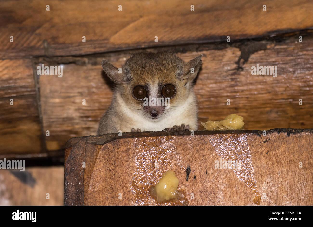 Baby Gray Mouse Lemur