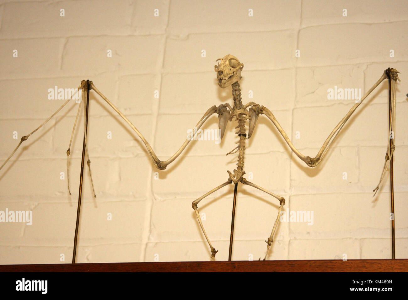 Skeleton of bat - Stock Image