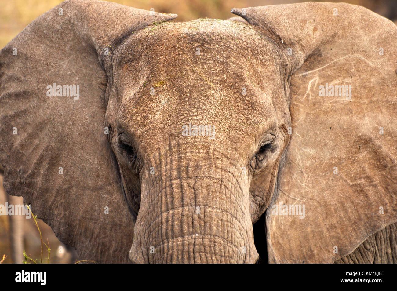 Bush Elephant (Loxodonta africana) - Stock Image