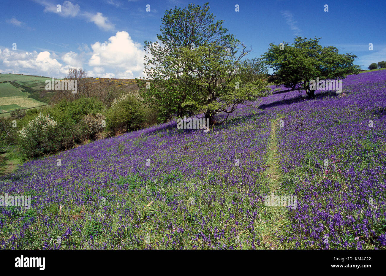 St Boniface Down covered in bluebells once site of ancient woodland, Ventnor, Isle of Wight, Hampshire, England - Stock Image