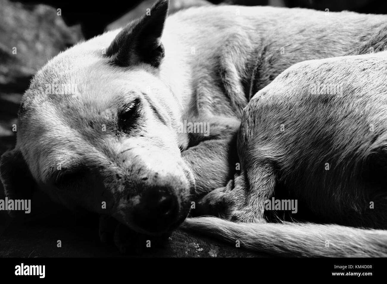 Old dog - Stock Image