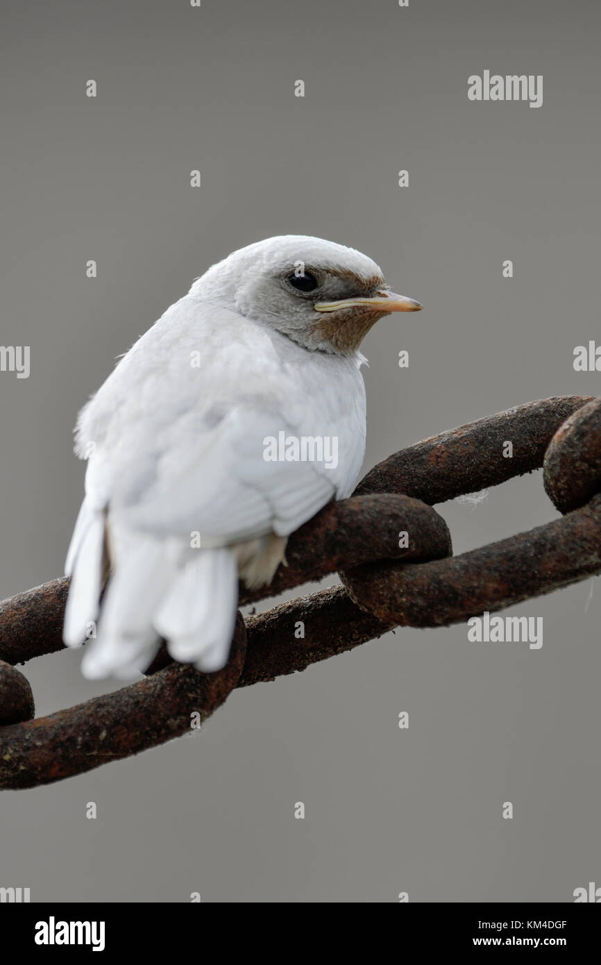 Barn Swallow / Rauchschwalbe ( Hirundo rustica ), fledged, white plumage, gene mutation, leucistic, leucism, perched - Stock Image