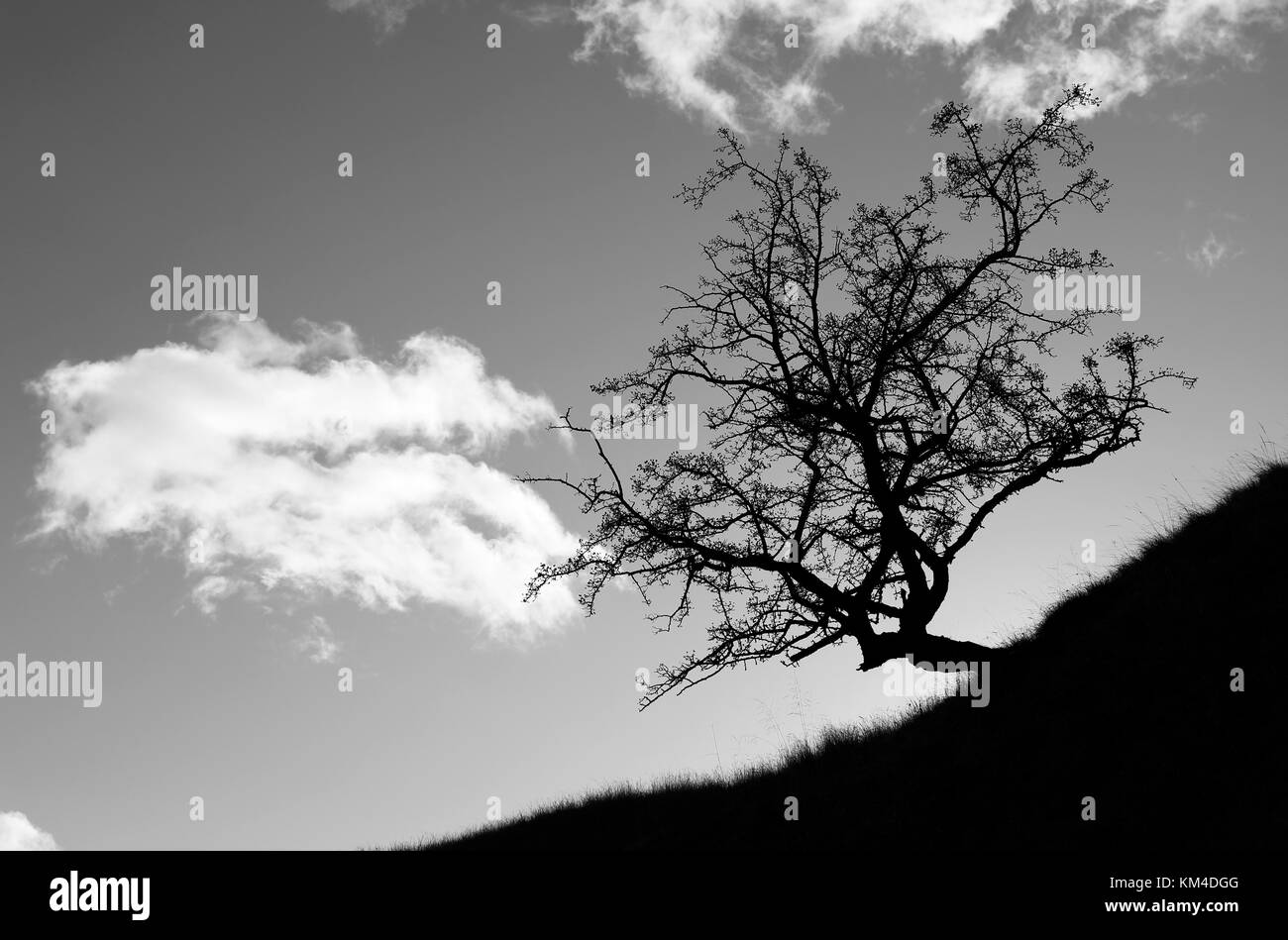 Hawthorn tree, Crataegus monogyna, on a hillside creating a dramatic silhouette, the initial effect is due to camera - Stock Image