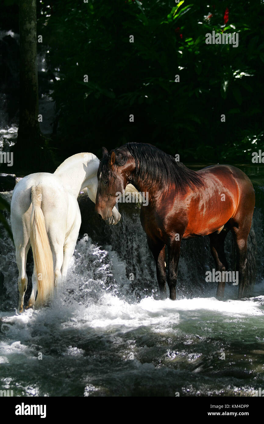 A white and a bay horse meeting in a magical stream - Stock Image
