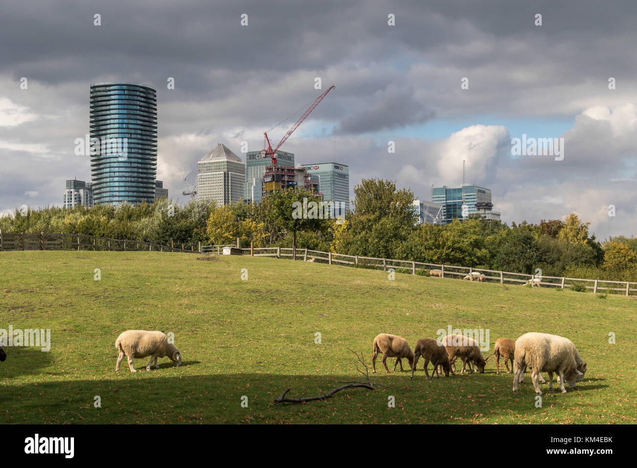 Sheep grazing on Urban pasture land at Mudchute City Farm  in View of the Glass And Steel Towers Of Canary Wharf - Stock Image