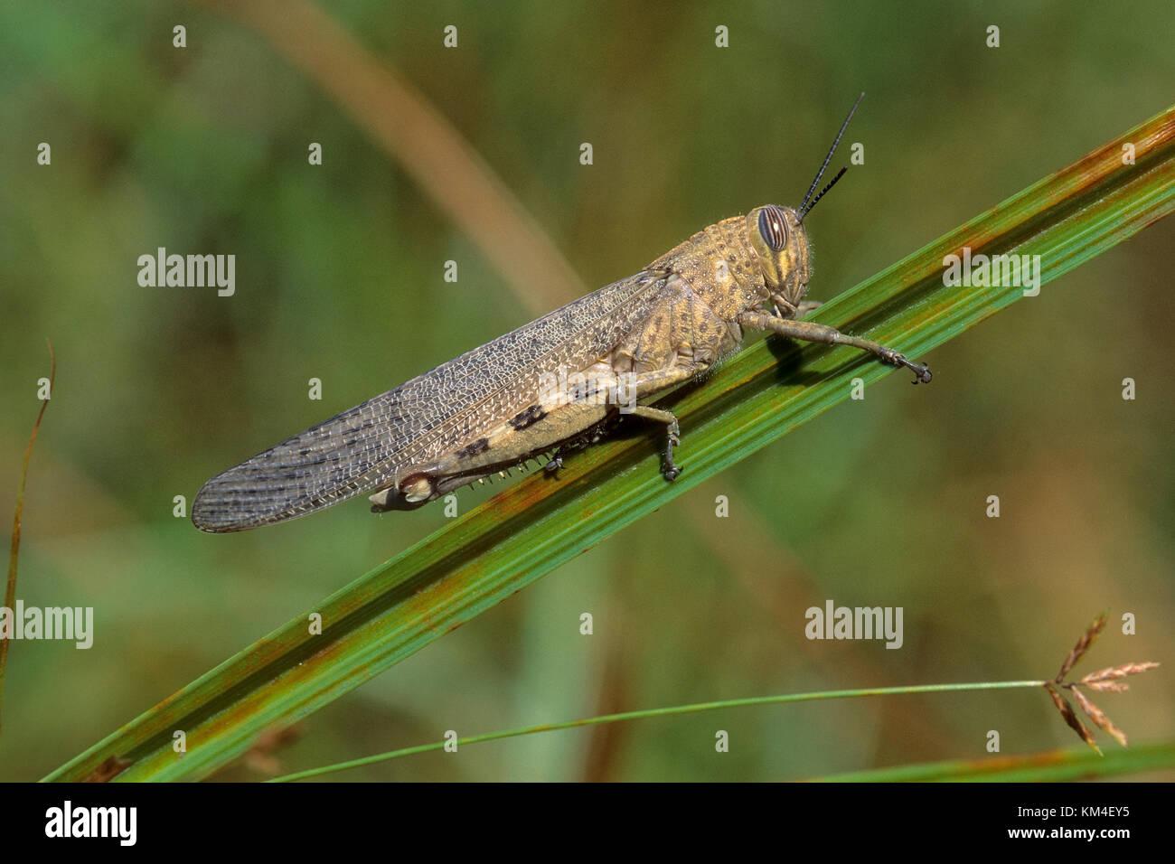 Ägyptische Wanderheuschrecke, Ägyptische Heuschrecke, Ägyptische Knarrschrecke, Anacridium aegyptium, - Stock Image