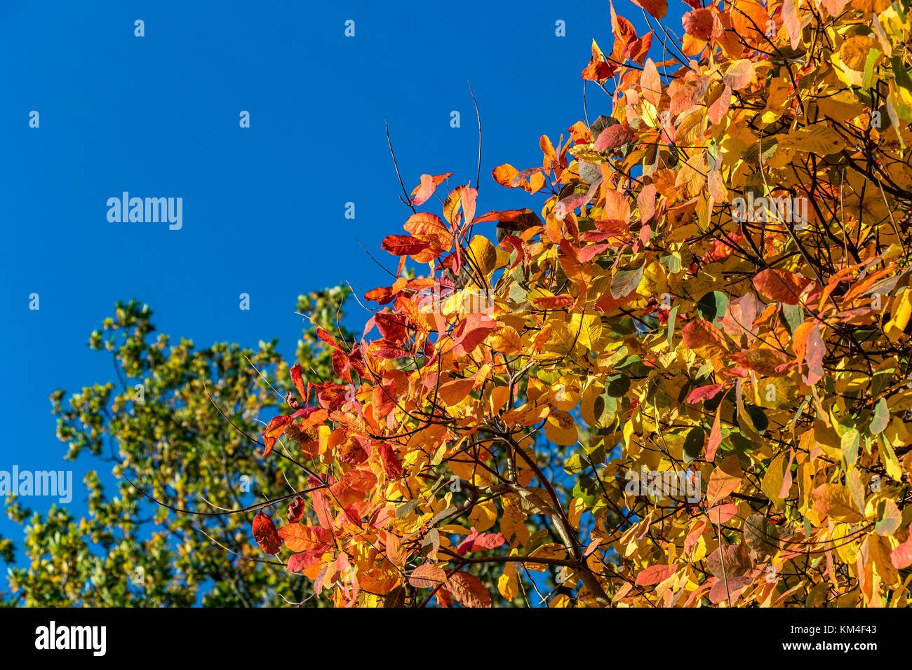 Close up of leaves in full Autumn colour an mixture of red , orange and yellow leaves with copy space - Stock Image