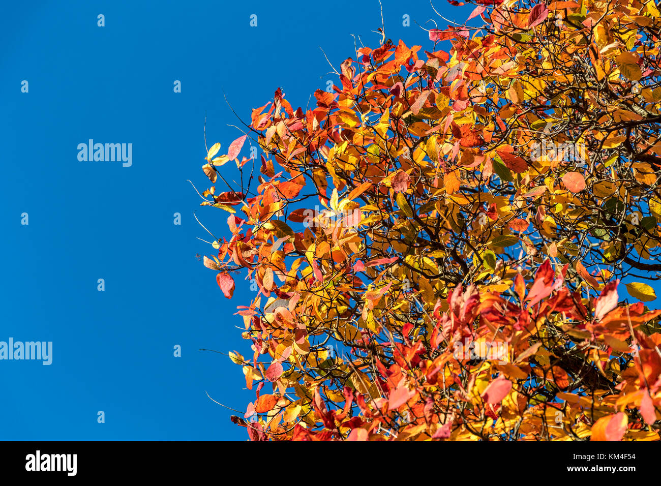 Close up of leaves in full Autumn colour an mixture of red , orange and yellow leaves with copy space Stock Photo