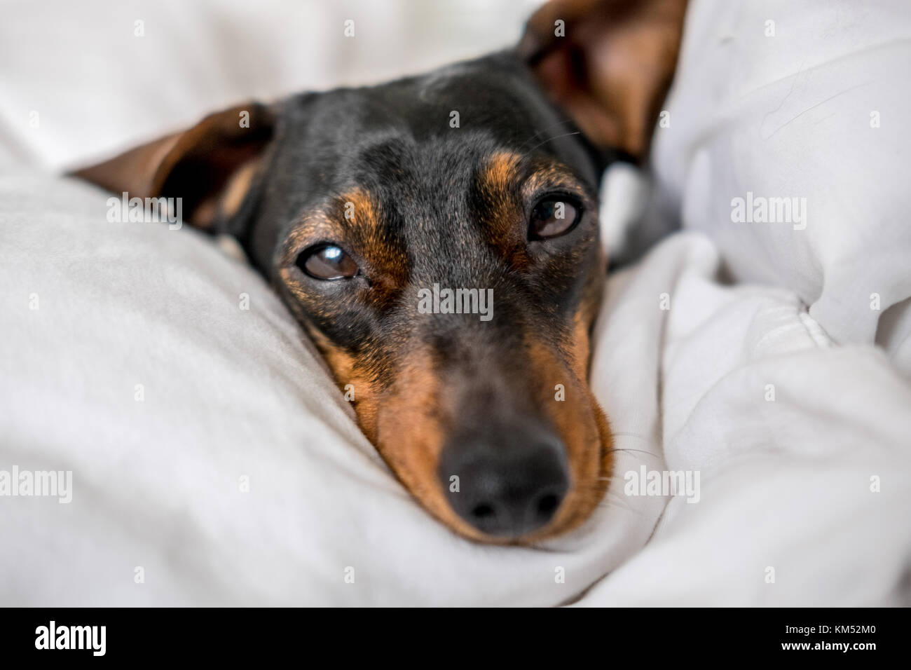 Black and tan miniature dachshund pet dog asleep in bed - Stock Image