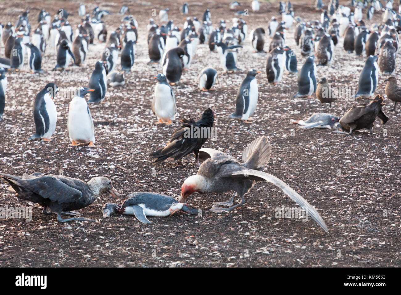 Giant petrels feeding on dead gentoo penguin - Stock Image