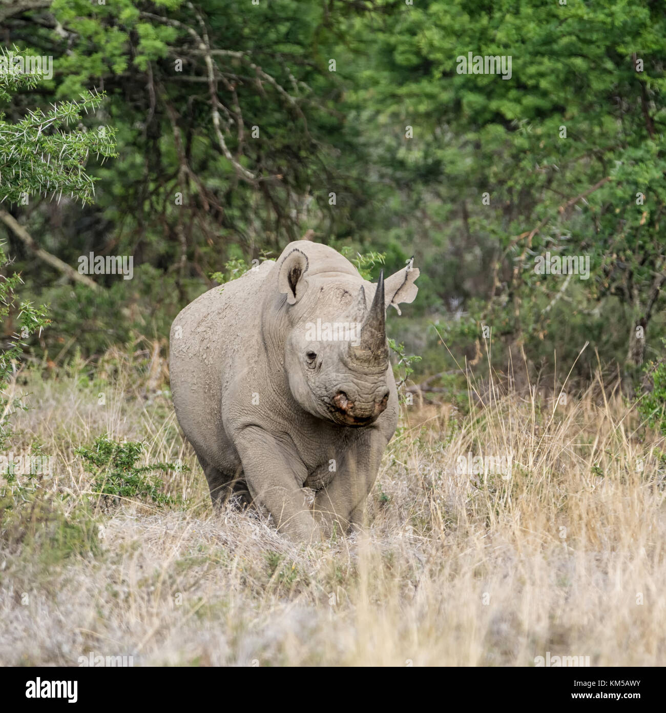 A Black Rhinoceros in Southern African savanna - Stock Image