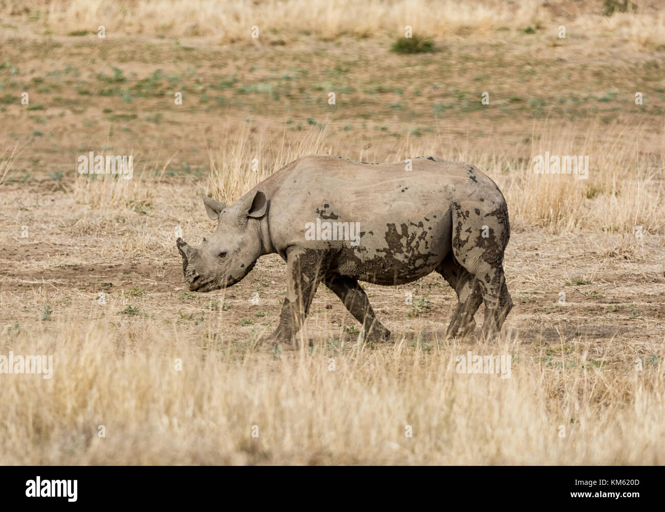 A Black Rhinoceros calf in Southern African savanna - Stock Image