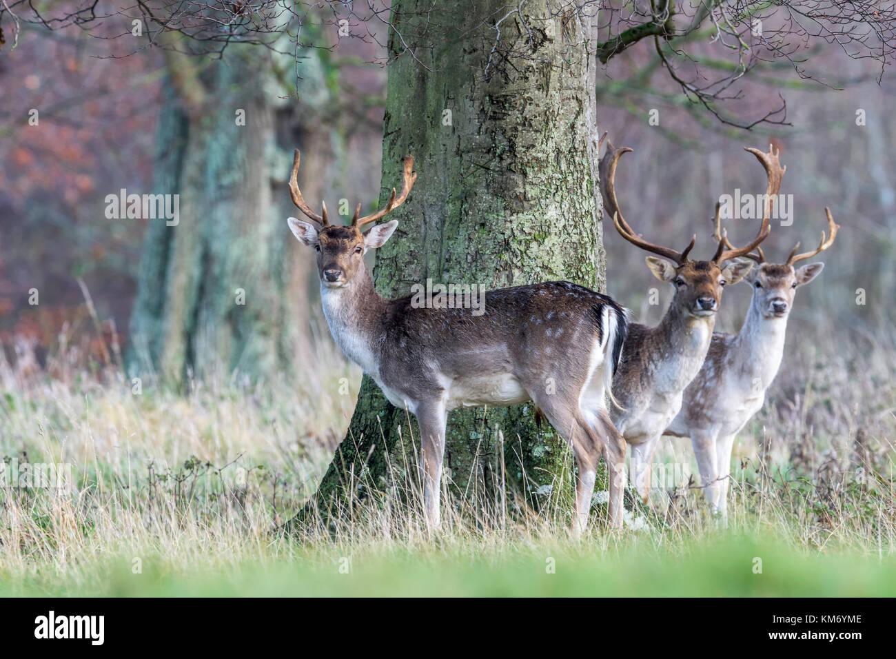 Parkland Fallow Deer Buck(Dama dama)  at Holkham in North Norfolk. - Stock Image