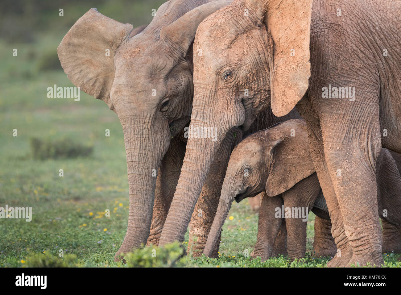 Game Drive Elephant Addo Stock Photos & Game Drive