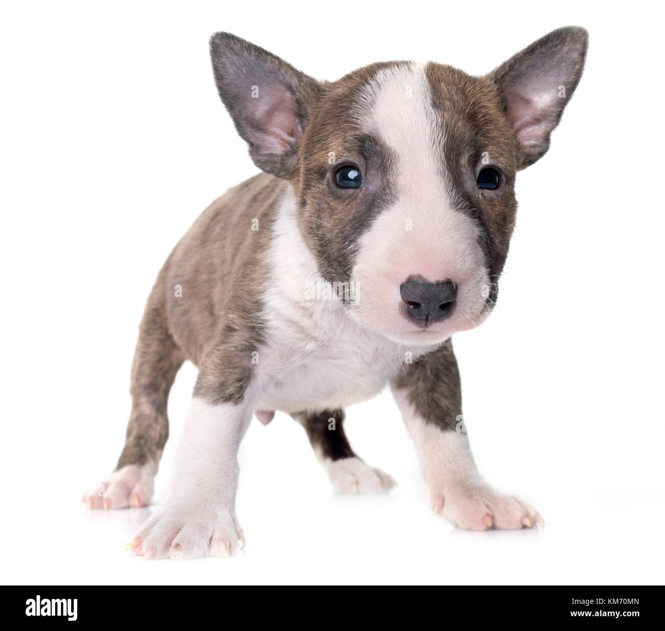 miniature bull terrier in front of white background - Stock Image
