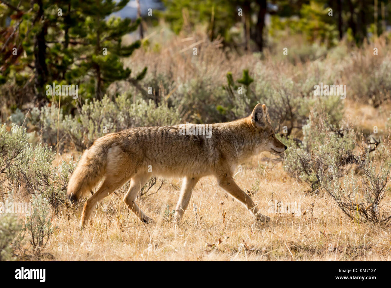 Coyote (Canis latrans) hunting in a meadow in Yellowstone National Park - Stock Image