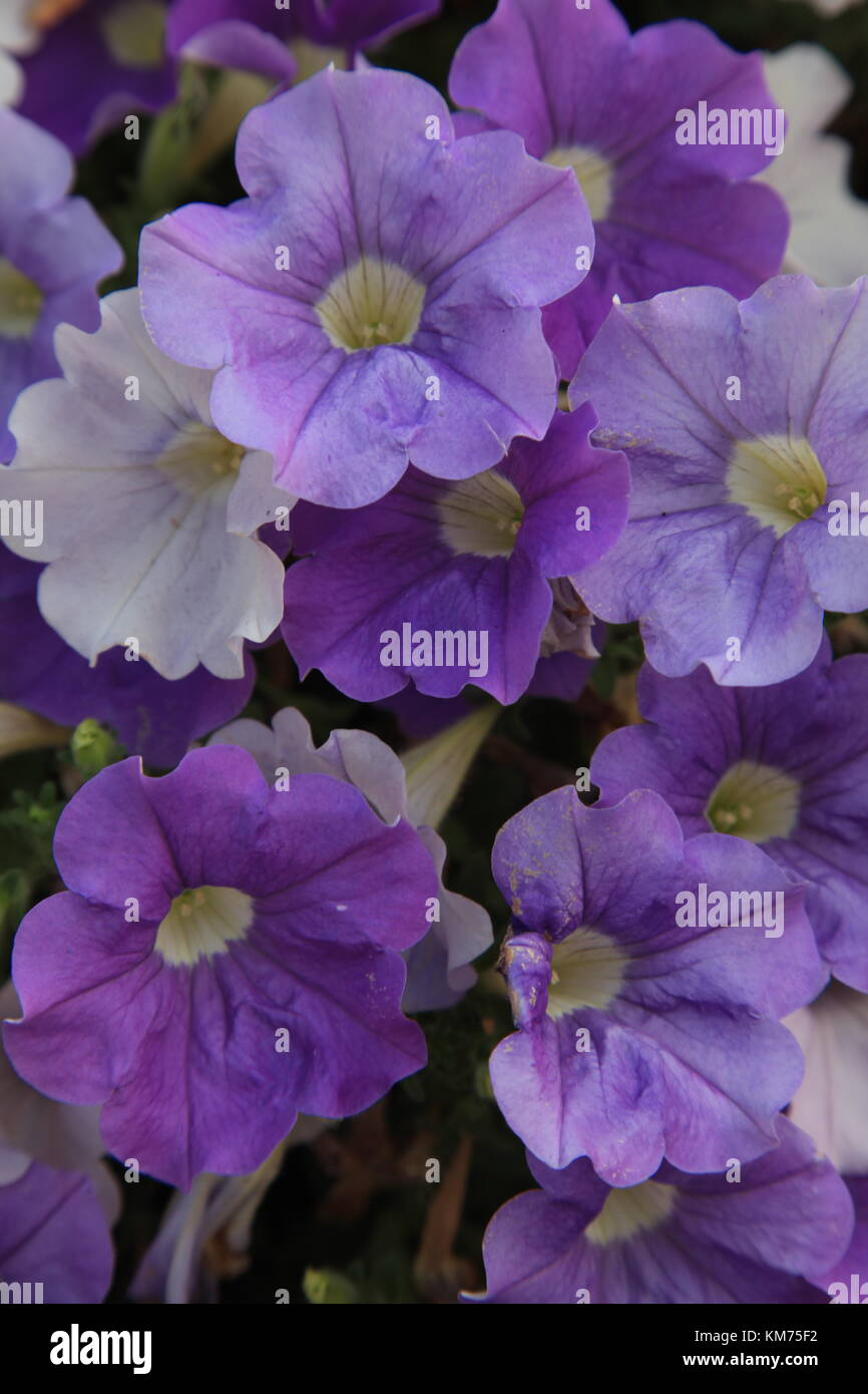Petunias in Basket - Stock Image