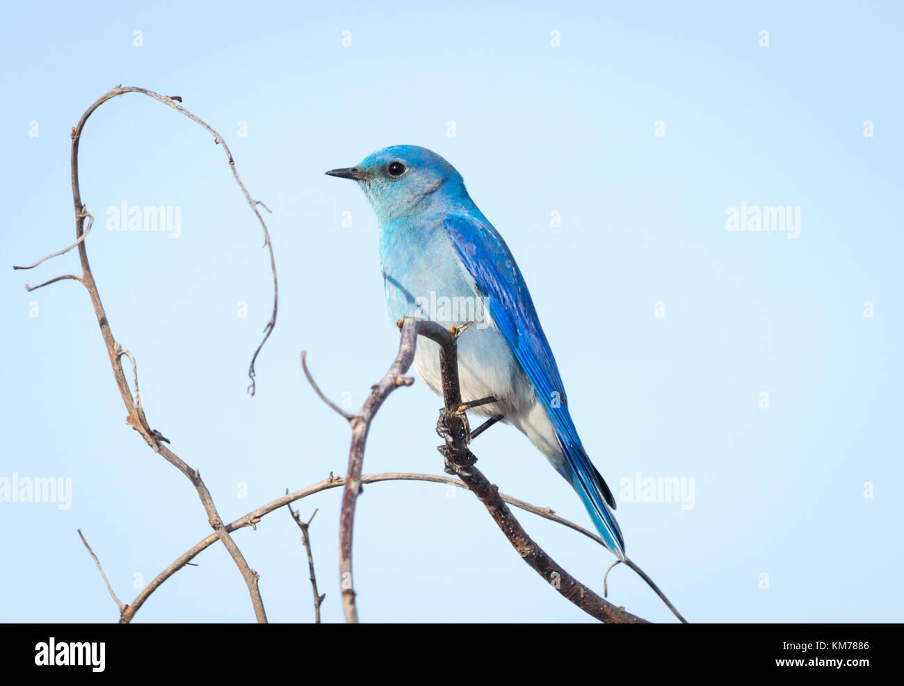 A male Mountain bluebird (Sialia currucoides), in breeding plumage, perched near Tofield, Alberta, Canada. Stock Photo