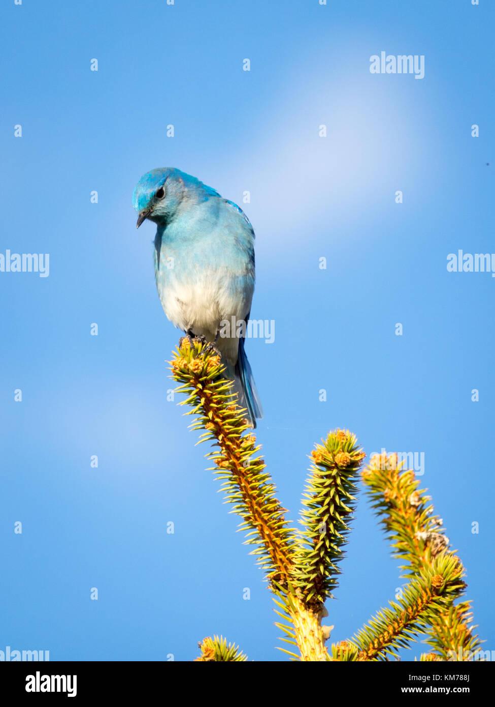 A male Mountain bluebird (Sialia currucoides), in breeding plumage, perched near Tofield, Alberta, Canada. - Stock Image