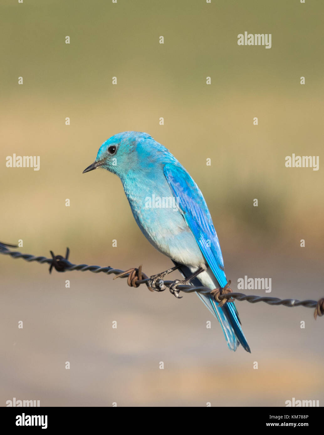 A male Mountain bluebird (Sialia currucoides), in breeding plumage, perched near Tofield, Alberta, Canada. Stock Photo