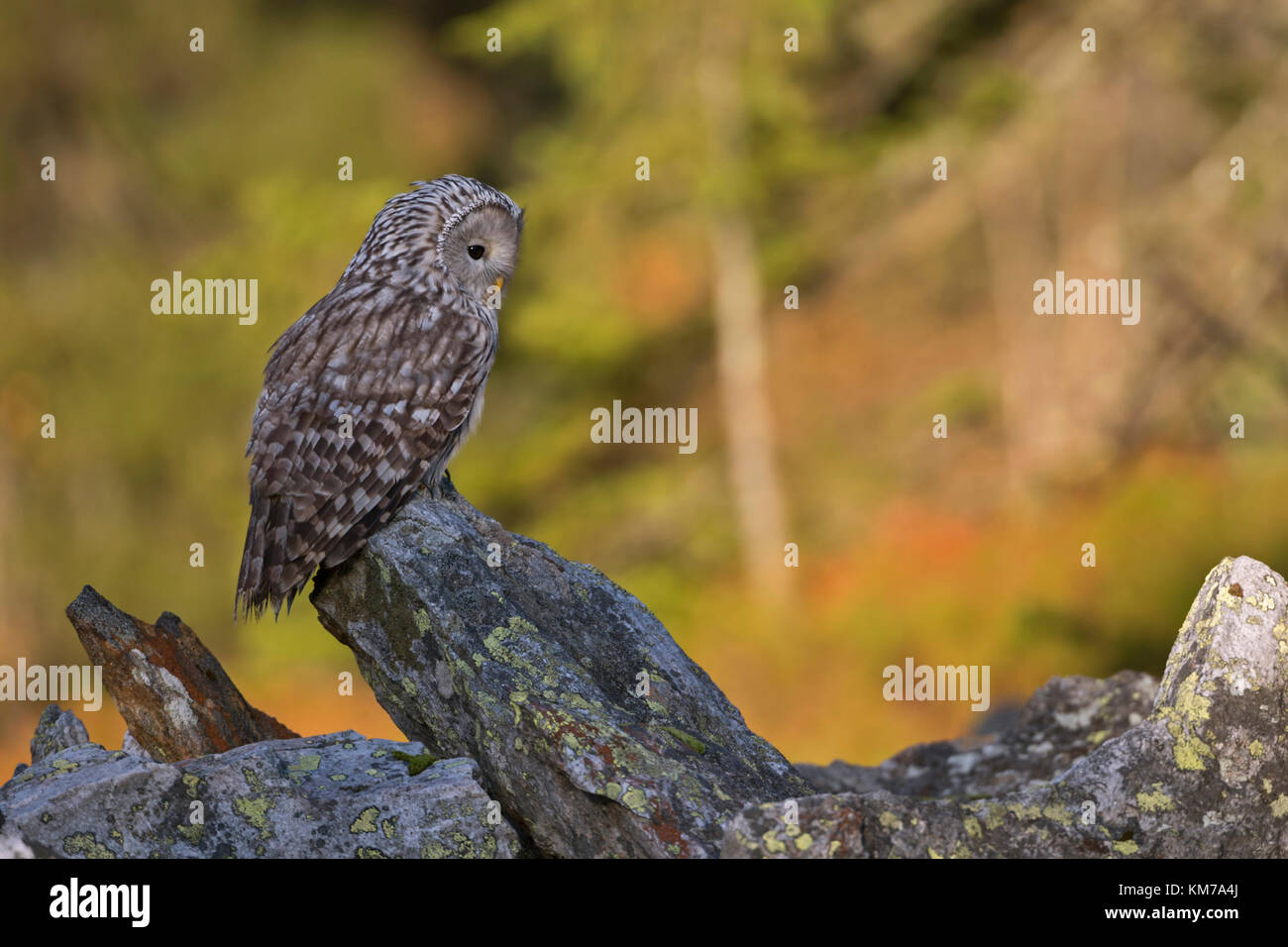 Ural Owl ( Strix uralensis ) perched on a rock, early morning, first sunlight shines on autumnal coloured woods - Stock Image