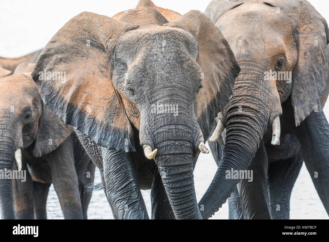 close up elephant portrait, three individuals emerge from the Chobe River, Botswana, after their bath. - Stock Image