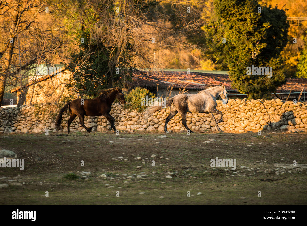 Two horses, one white and one black, run free on a ranch in Jerte, Extremadura, Spain. - Stock Image