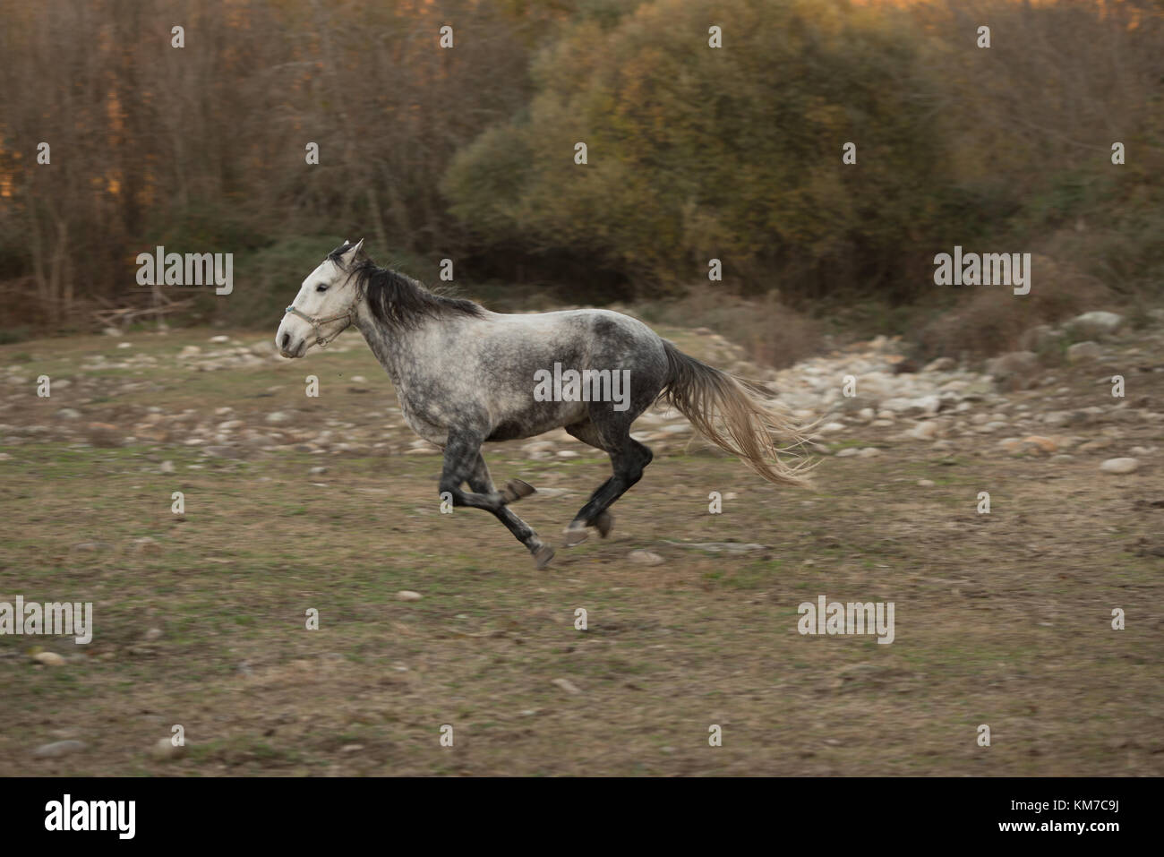 A white and black horse run free on a ranch in Jerte, Extremadura, Spain. - Stock Image