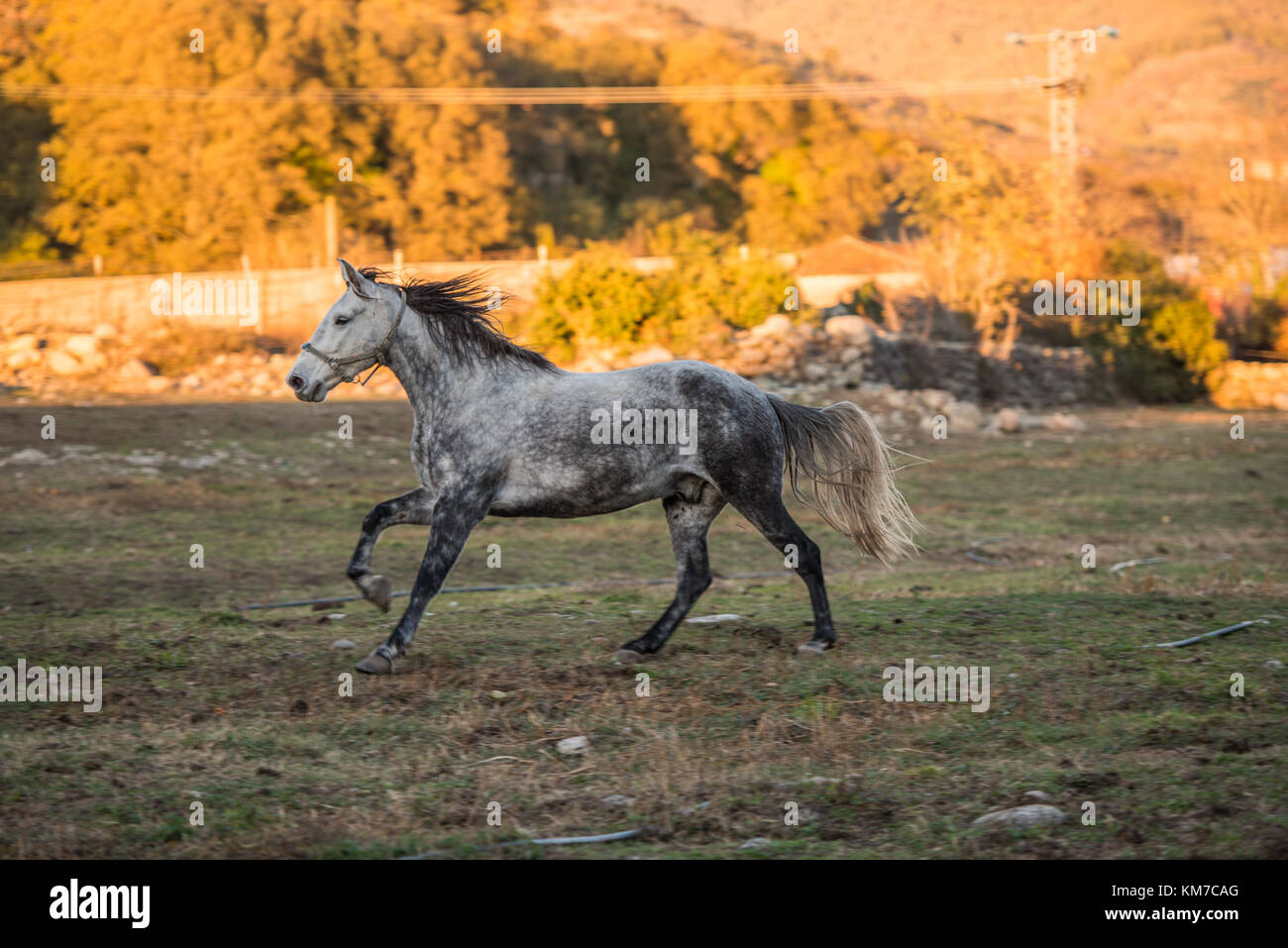 A white and black horse runs free on a ranch in Jerte, Extremadura, Spain. - Stock Image