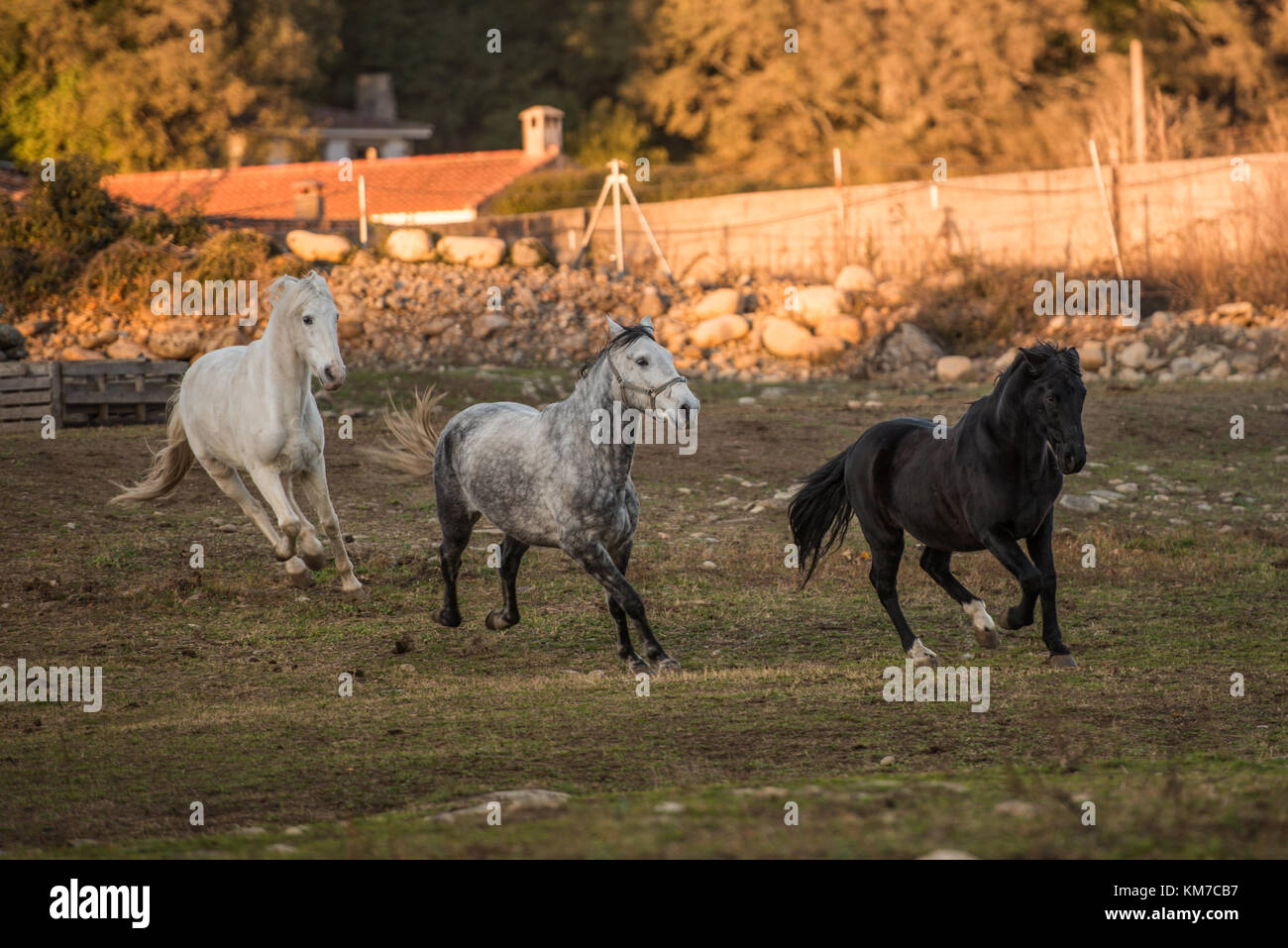 Three horses, two white and one black, run free on a ranch in Jerte, Extremadura, Spain. - Stock Image