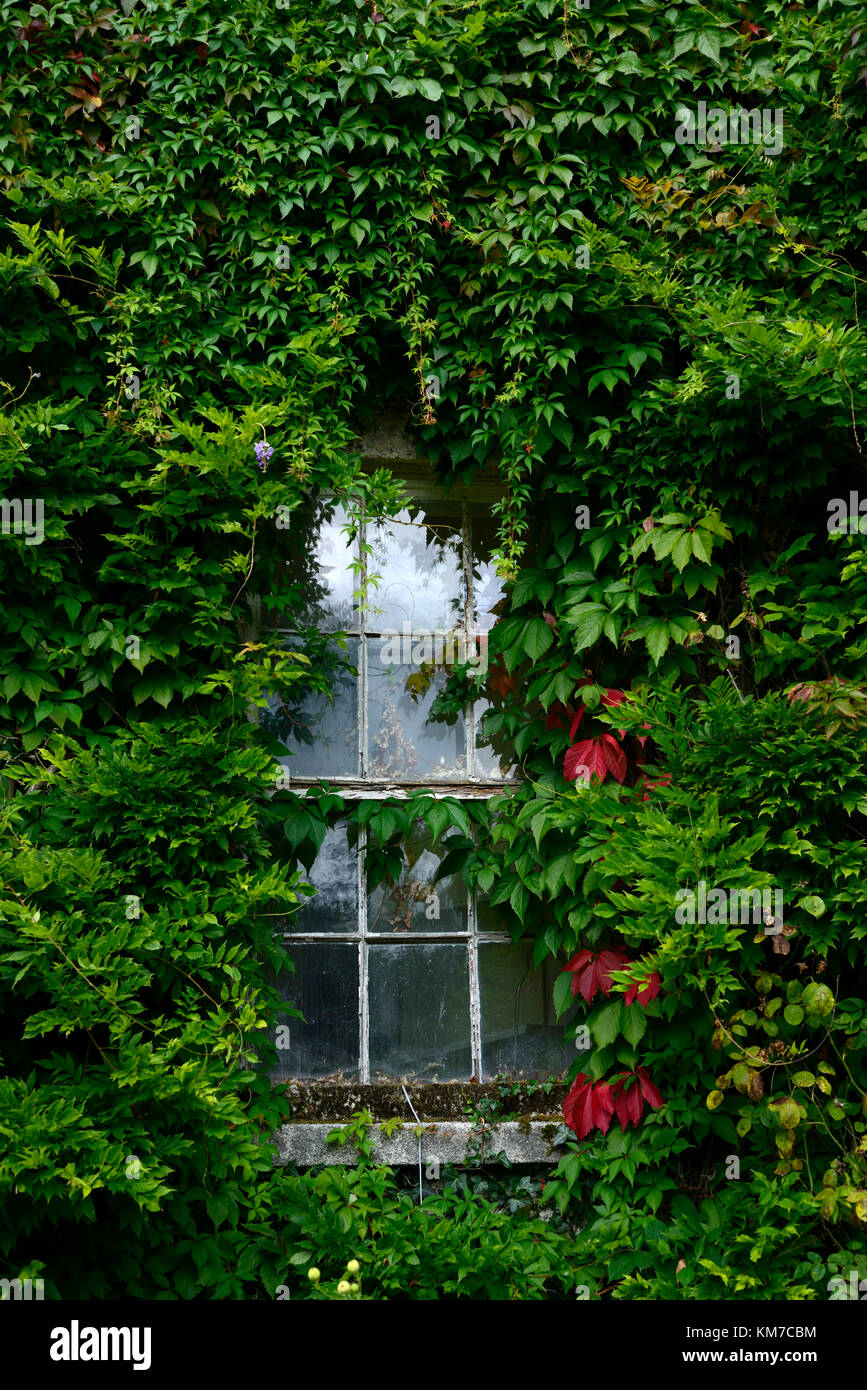 Parthenocissus quinquefolia,Virginia creeper,cover,covering,covered,window,dilapidated,run down,house,home,garden,gardens,climber,creeper,RM - Stock Image