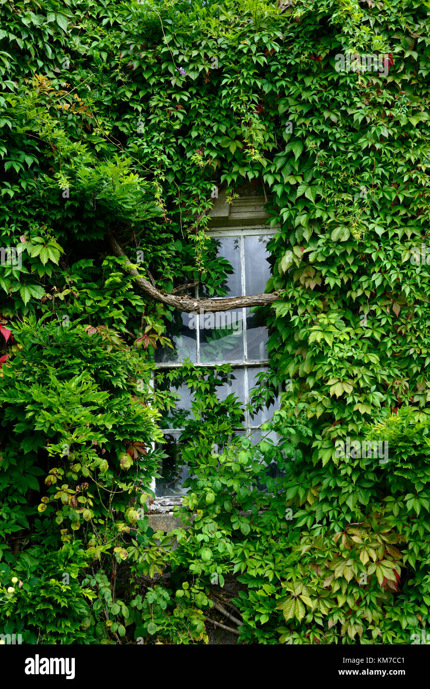 Parthenocissus quinquefolia,Virginia creeper,wisteria sinensis,overgrown,cover,covering,covered,window,dilapidated,run - Stock Image
