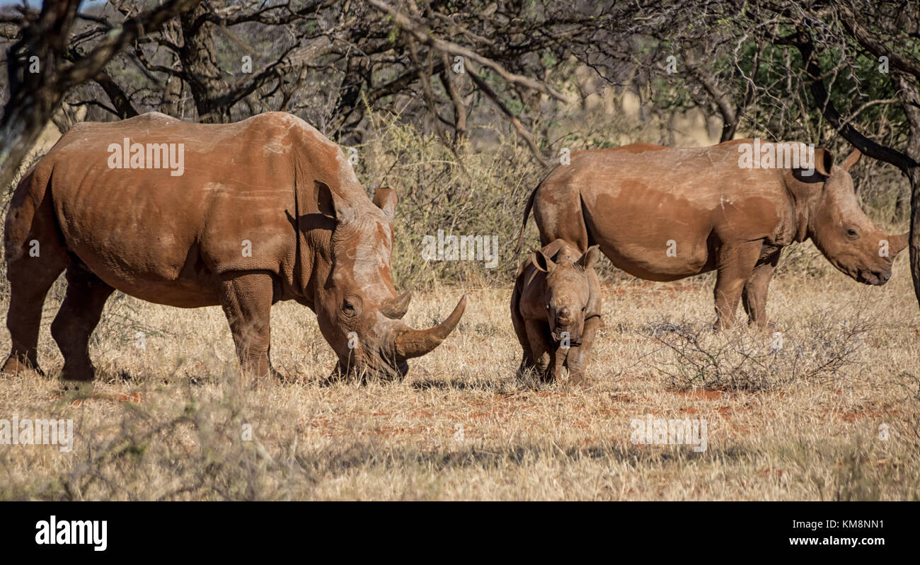 A White Rhinoceros family in Southern African savanna - Stock Photo
