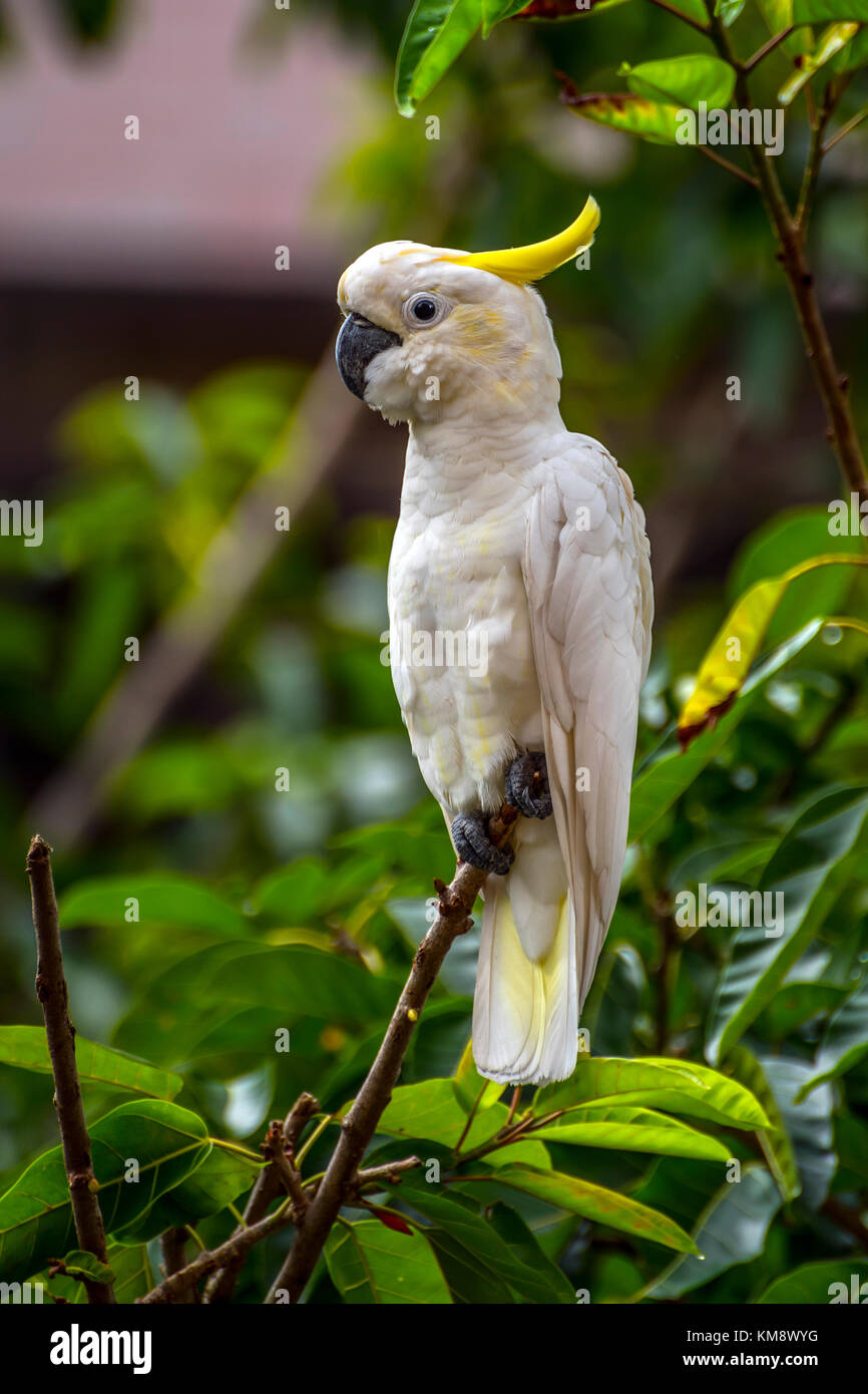 Yellow-Crested Cockatoo, an endangered species, living wild in the city of Hong Kong and thriving Stock Photo