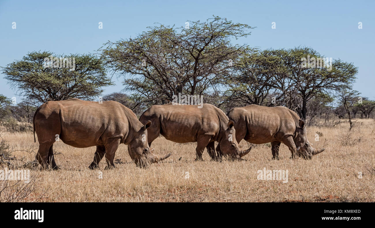 A group of White Rhinoceros in Southern African savanna Stock Photo
