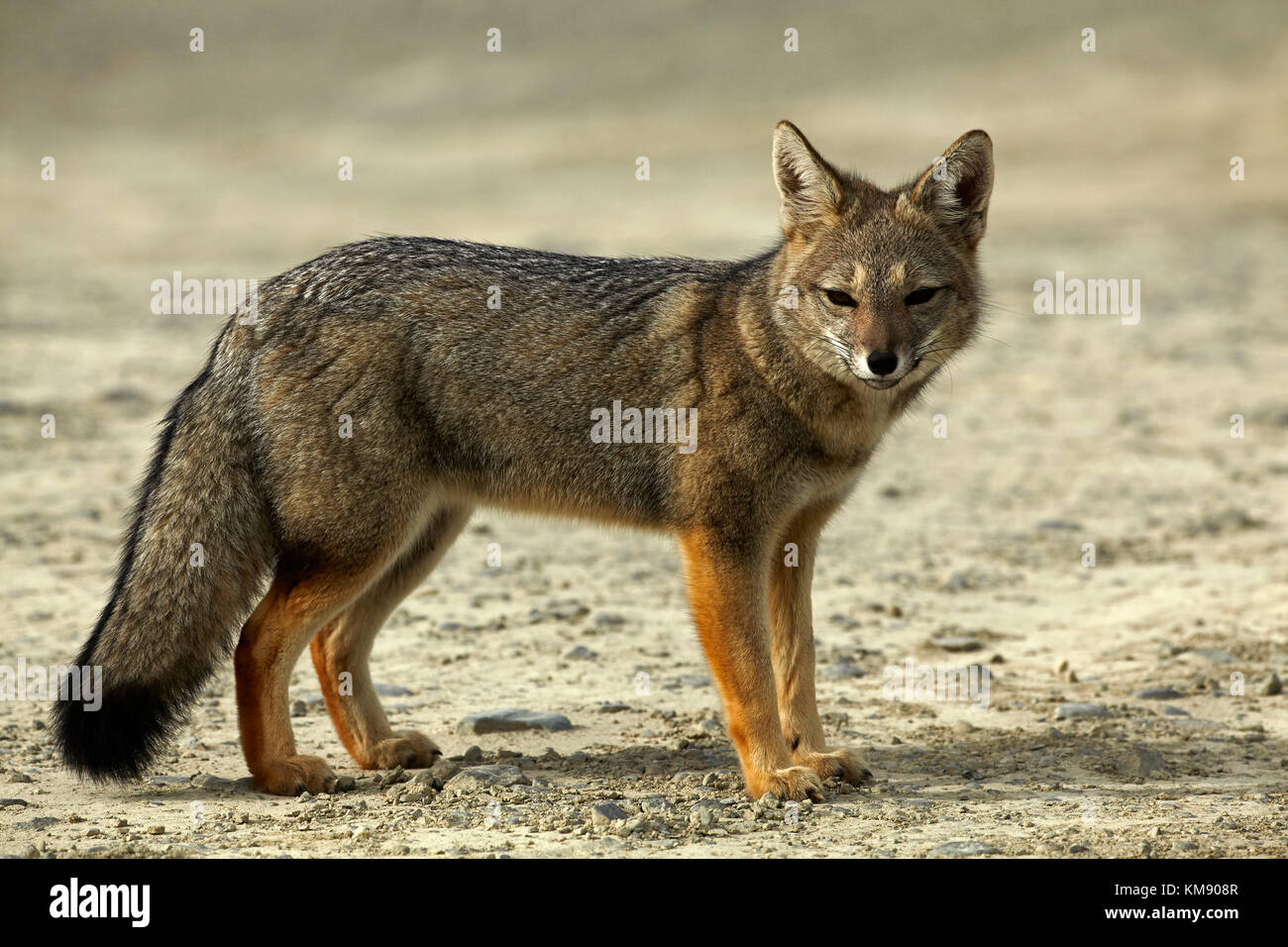 South American gray fox (Lycalopex griseus), Patagonia, Argentina, South America - Stock Image