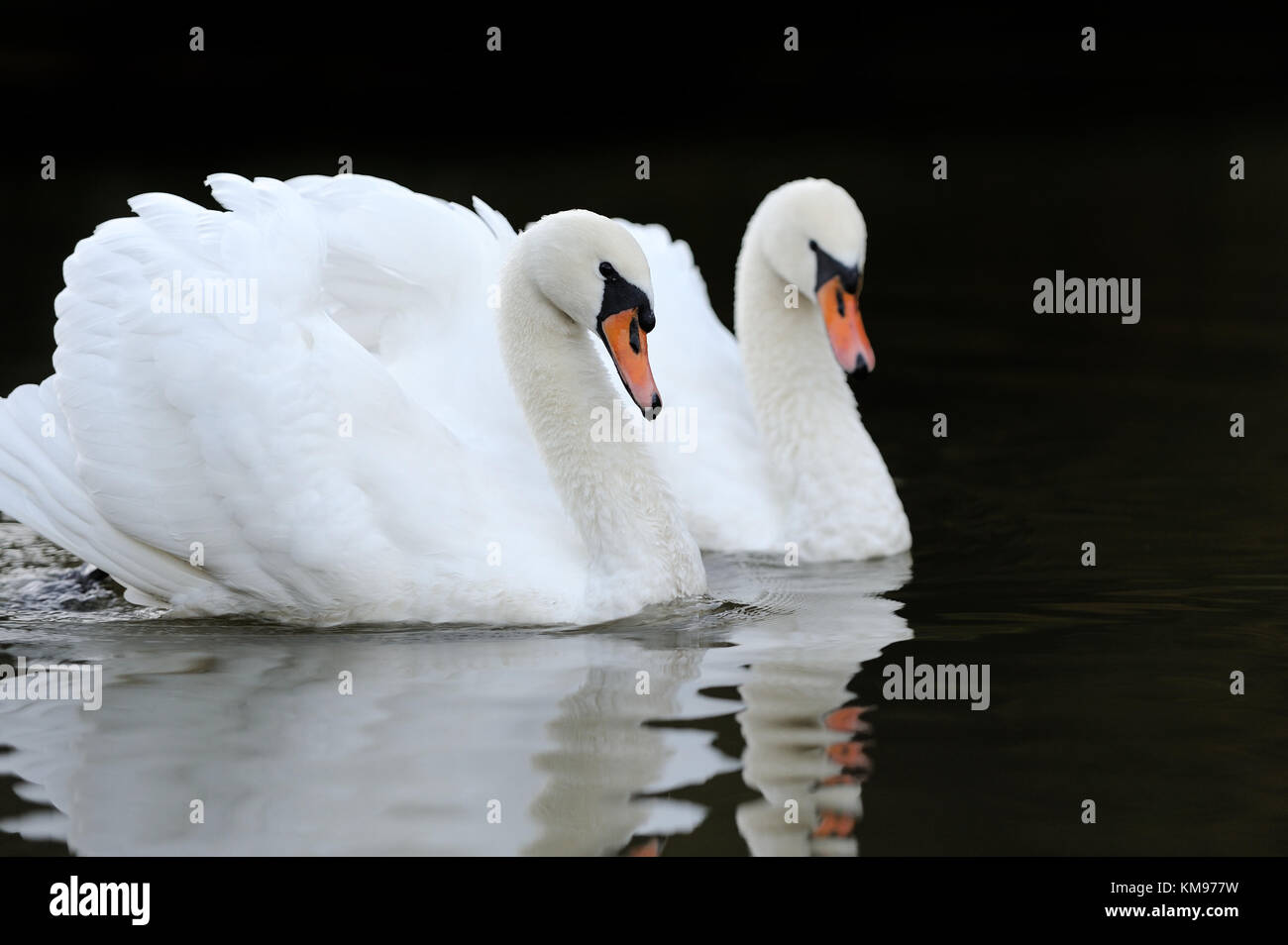 Close beautiful swan swimming in the lake Stock Photo