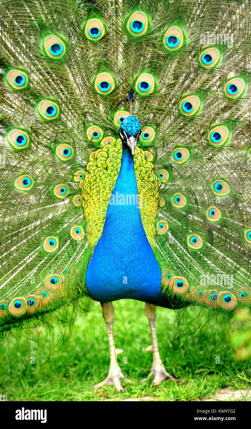 Beautiful indian peacock with fully fanned tail - Stock Image