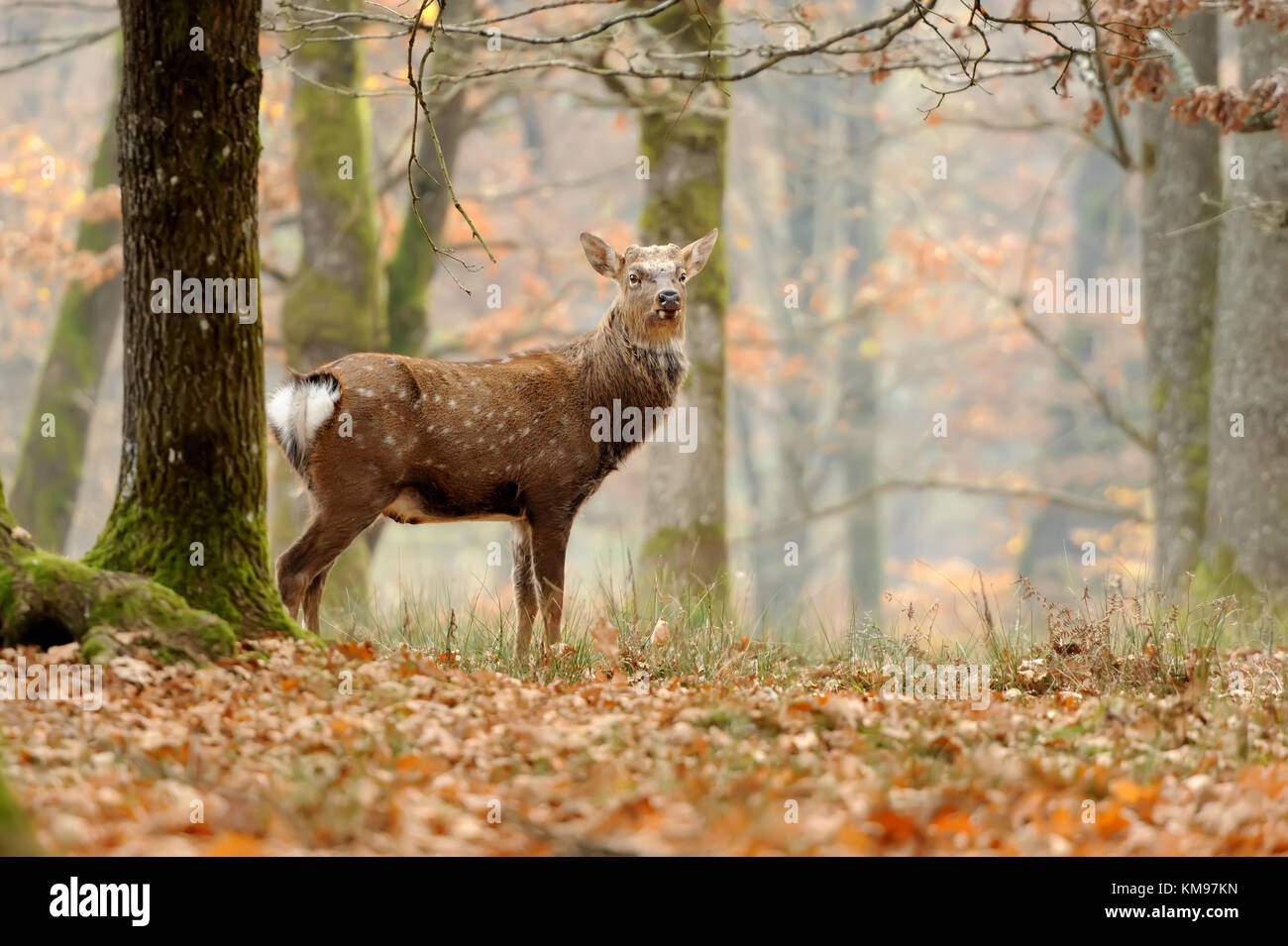 Close-up young whitetail deer standing in autumn day - Stock Image